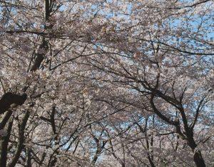 Hwagae Cherry Blossom Festival