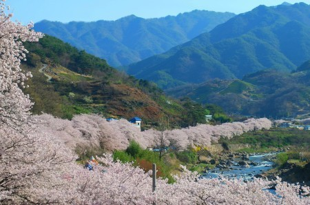 Best place to see these beautiful pink flowers come spring? The Hwagae Cherry Blossom Festival with its 4km of trees is absolutely stunning!