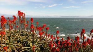 Wild Aloe at de Kelders, South Africa
