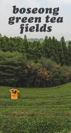 The Boseong Green Tea Fields are the perfect countryside escape in Korea! Here's how to visit them.
