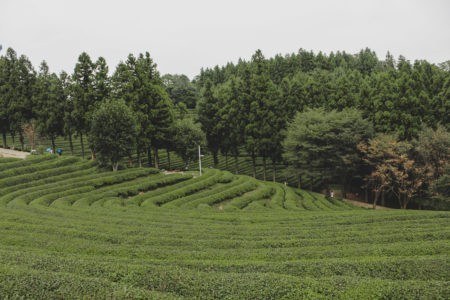 boseong green tea fields in may