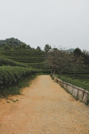 path leading up to the tea fields