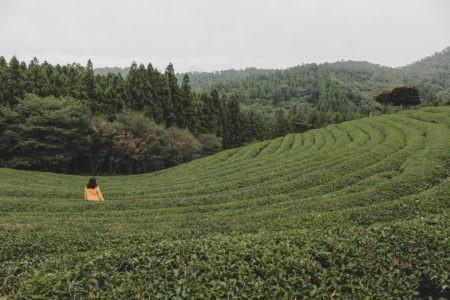 roaming through the tea fields