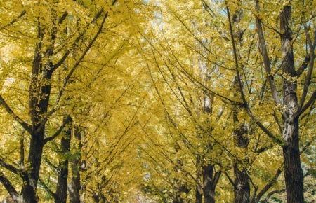 Yellow Gingko trees on Nami Island near Seoul
