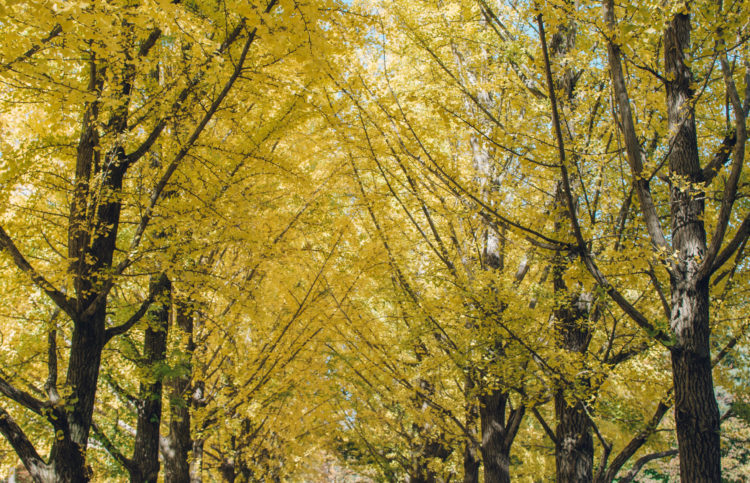 Yellow Gingko trees on Nami Island near Seoul