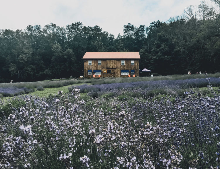 In my search for a lavender farm in Pennsylvania, I stumbled across Peace Valley Lavender Farm in Doylestown. Stop by for some lovely scenery and shopping.