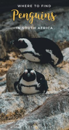 Did you know there are penguins in South Africa? While there are a few places to see them, I'm going to talk about my visit to Stony Point in Betty's Bay.