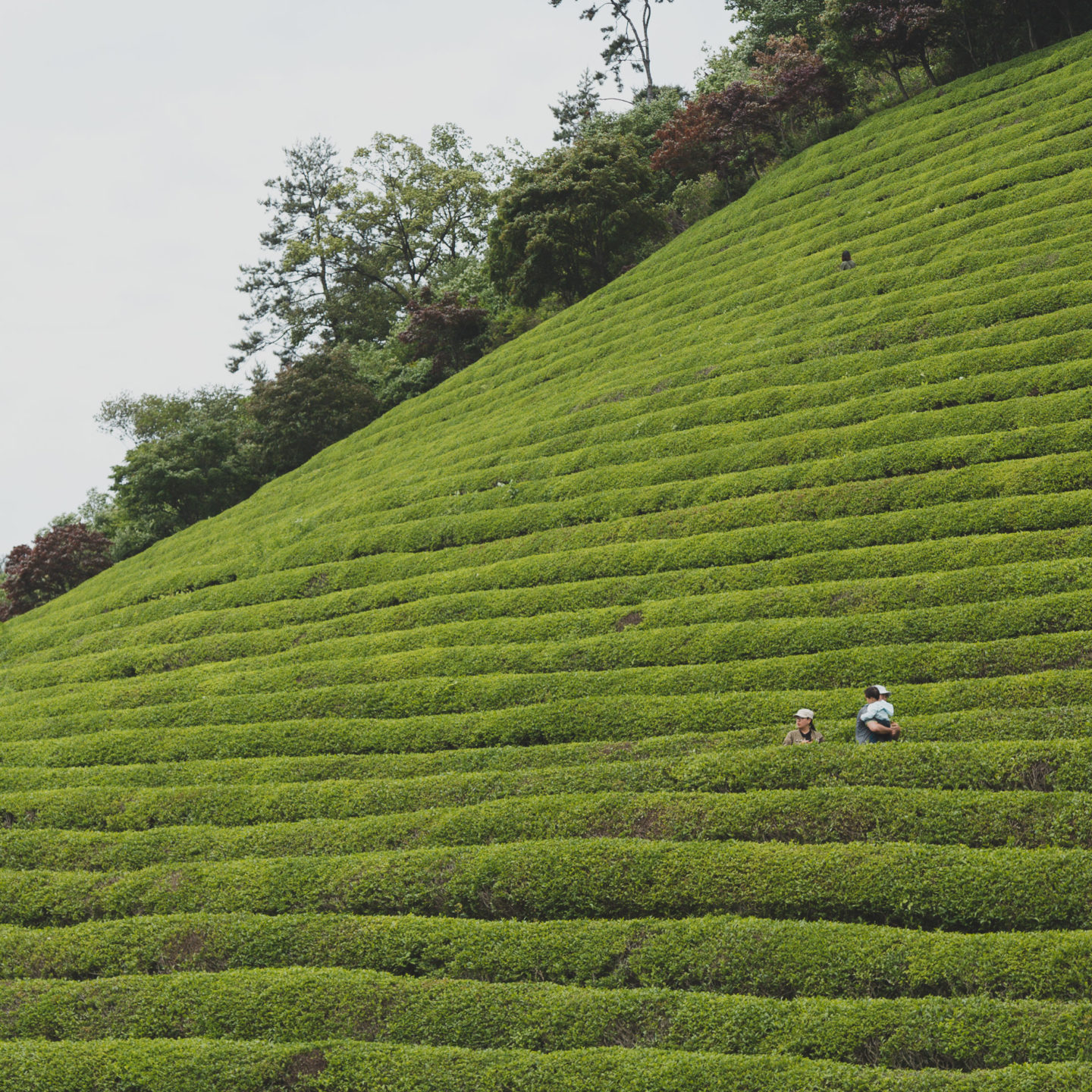 a family looking tiny in the massive rows of green tea plants