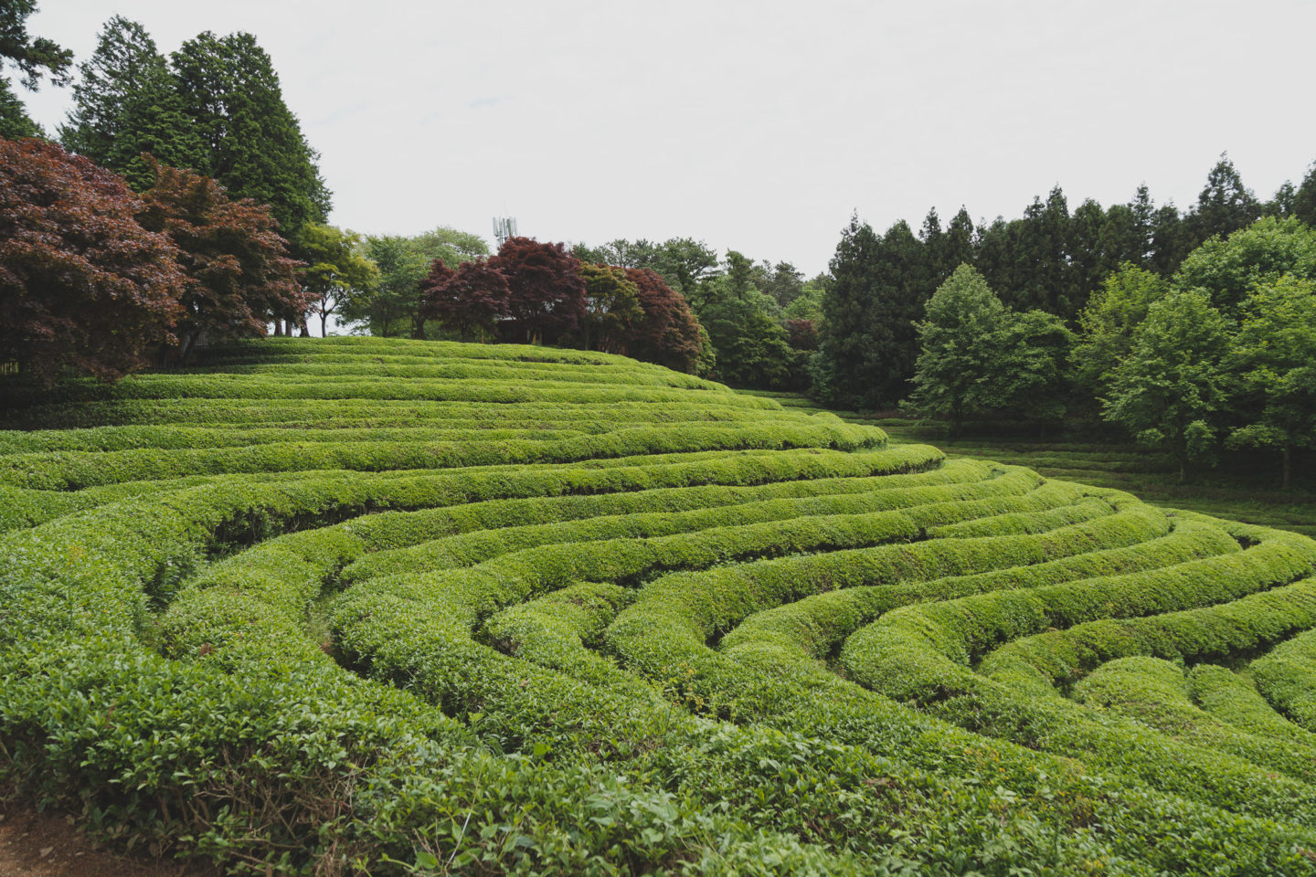 rolling tea fields
