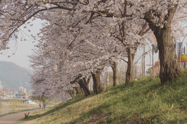 Cherry Blossoms, Korea 2020: A Forecast Guide & Where to Go