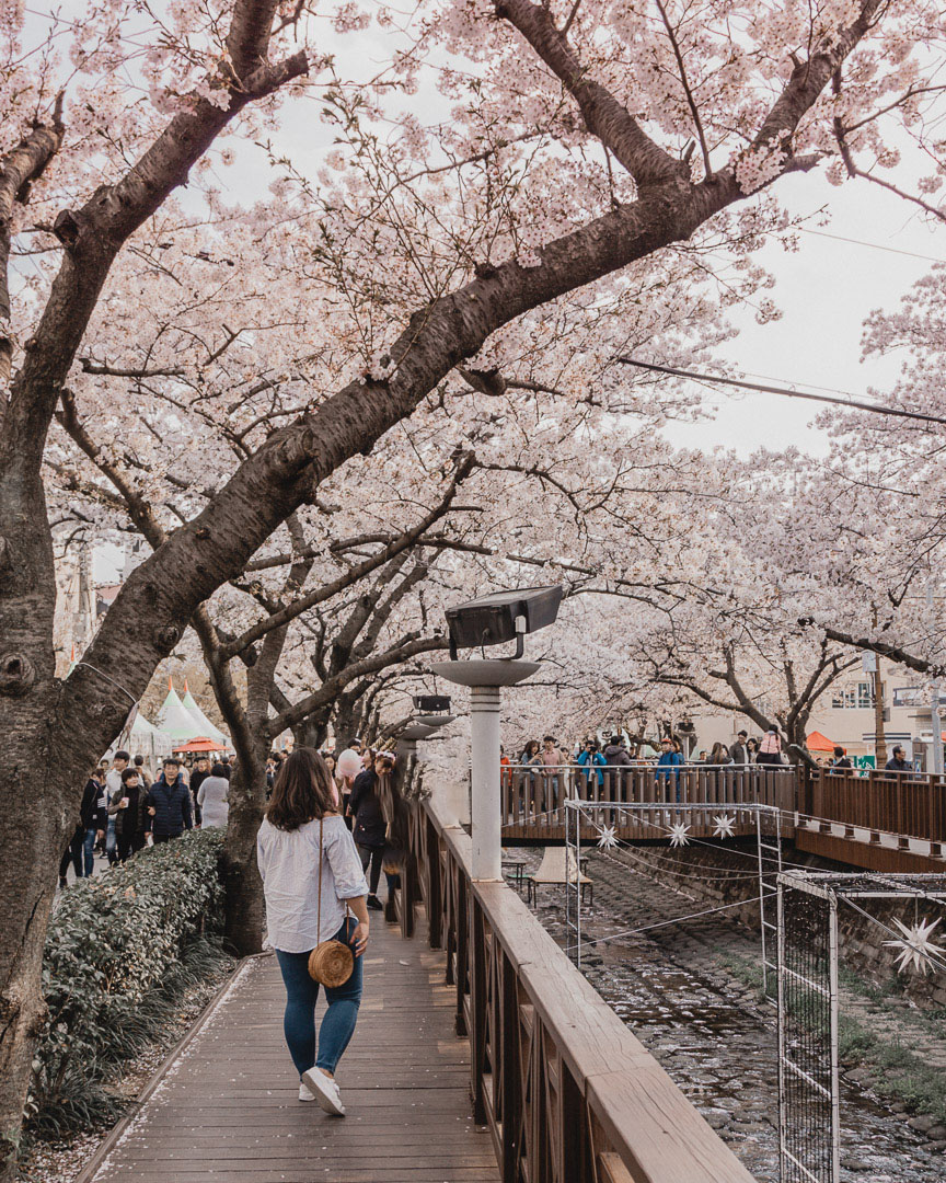 Philadelphia Cherry Blossom Festival 2020.The Famous Jinhae Cherry Blossom Festival All You Need To