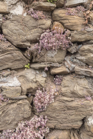 little purple-ish succulent type flowers poking out from the rocks