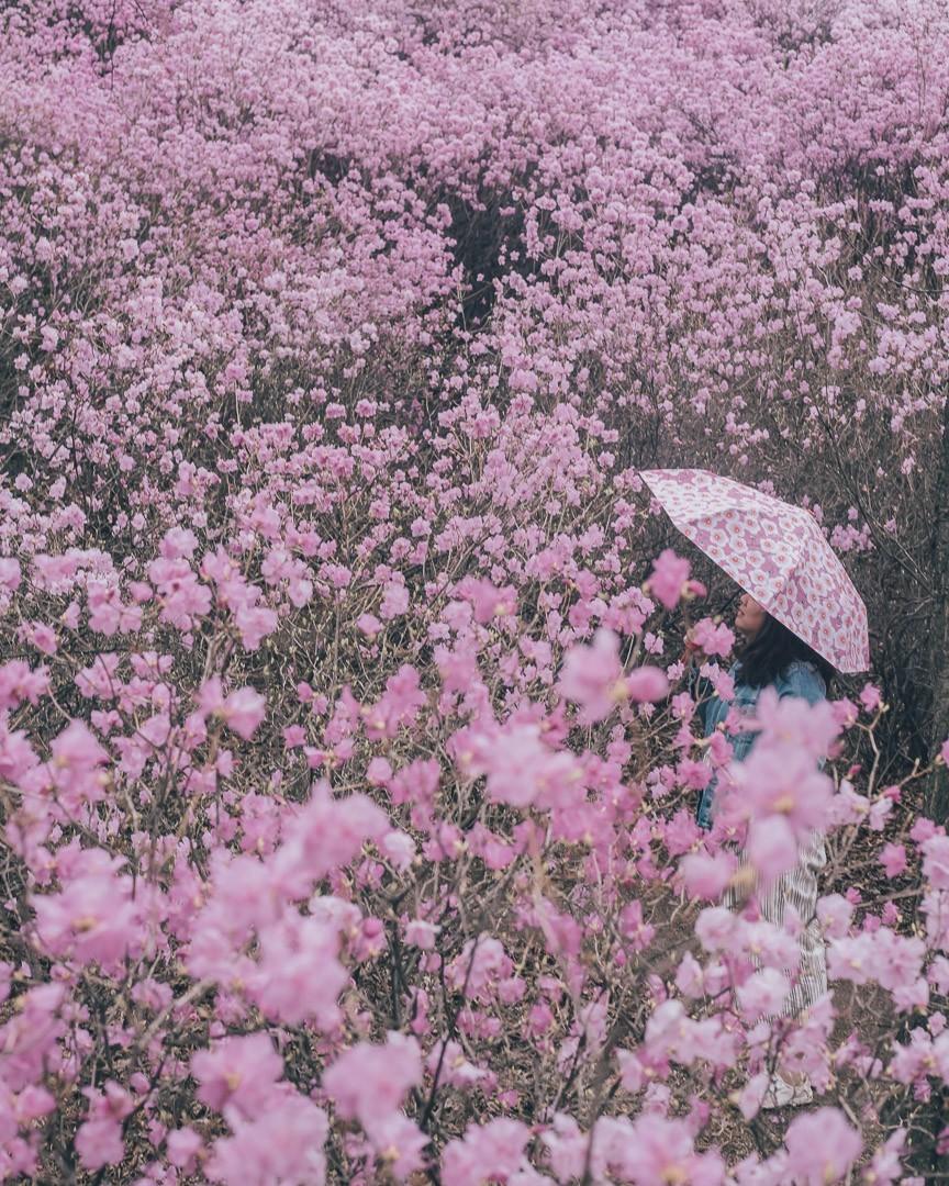 Wonmisan azaleas