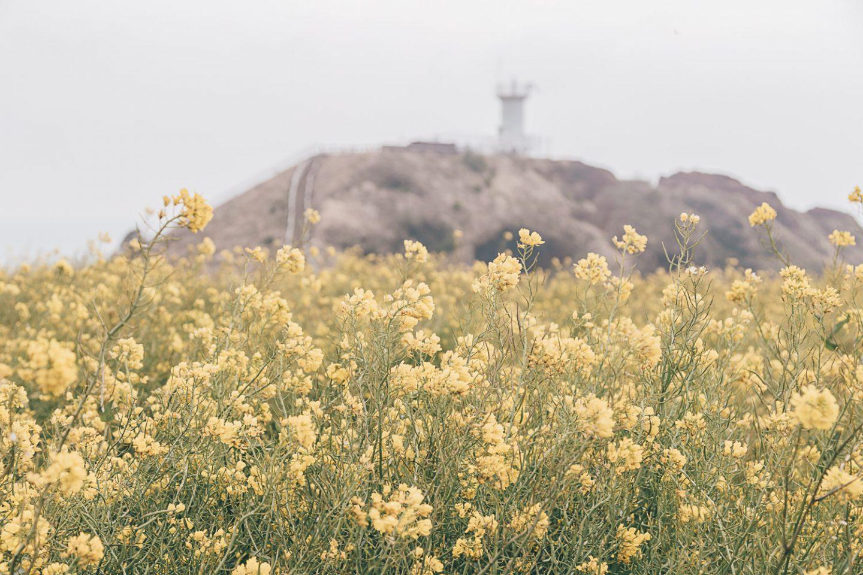 Canola fields in Jeju