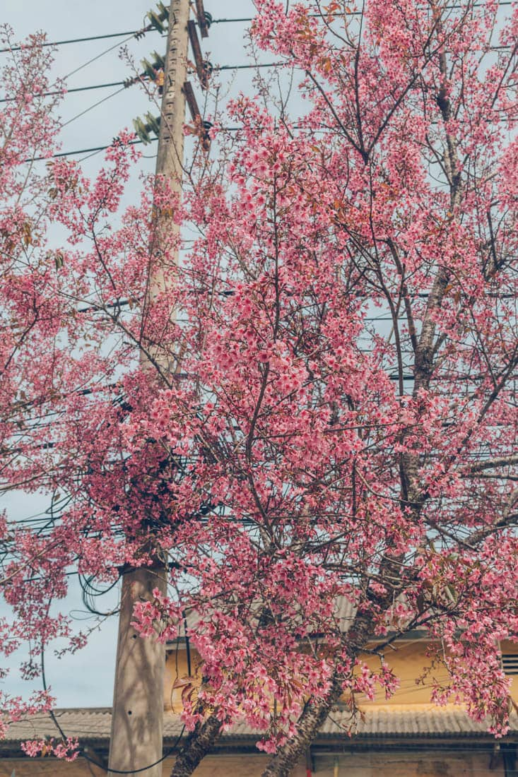 Cherry Blossoms in Dalat, Vietnam